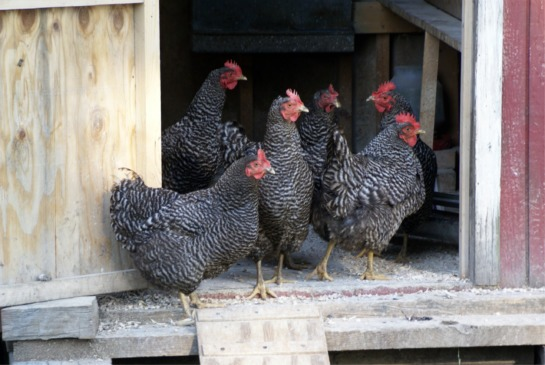 Hens Image - Keeping Chickens with Nettex Poultry